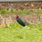 雉 桃太郎 カメラマン 野鳥の住める環境整備